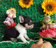 Chihuahua femmina tricolor toy