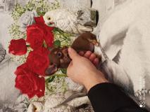 Chihuahua femmina cioccolat focato con occhi chiar