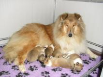 cuccioli collie-pastore scozzesi a pelo lungo
