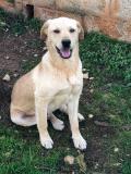 Iago e Artù, Simil Labrador 7,8 mesi