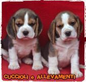 Beagle Cuccioli - Pedigree -...