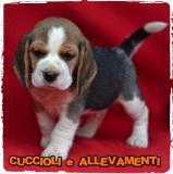 Beagle Cuccioli - Pedigree - Allevamento