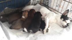cuccioli di chiwawa