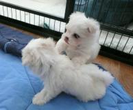 !!cuccioli maltesi pronti per le loro nuove case !!