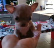 Chihuahua maschio blu con occhi chiari...