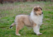 Collie collies cuccioli (pastori...