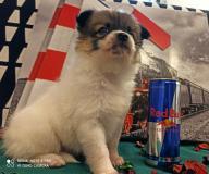 Chihuahua e Spitz di Pomerania micro e toy