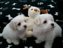 Bellissimi cuccioli maltesi in adozione