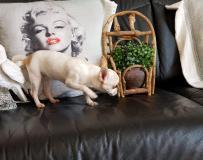 chihuahua femmina pelo raso bianco...