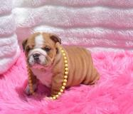 Bulldog inglese, cucciolo femmina di taglia piccola, con pedigree ROI