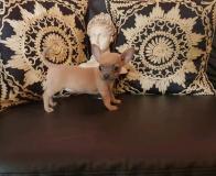Chihuahua femmina blu