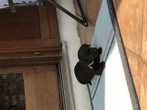 Cuccioli di Labrador Retrievers