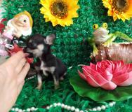 Chihuahua femmina nero focato dimensione tea cup
