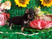 Chihuahua femmina nero focato...