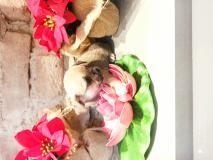 Chihuahua femmina Toy di colore grigio ChihuahuafemminaToydicoloregrigio1.jpg