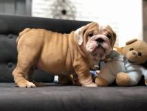 Offro In Regalo regalo bulldog inglese...