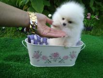 dolce punta nana / Pomeraniana ~