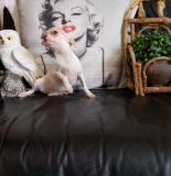 chihuahua femmina pelo raso 6 mesi...