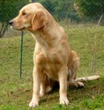 Splendidi cuccioli di Golden Retriever
