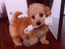 Cuccioli di barboncino, molto orgogliosi!!