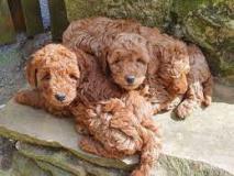 Cuccioli di barboncino, molto orgogliosi!! Cucciolidibarboncinomoltoorgogliosi12.jpg