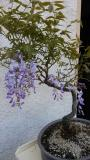 bonsai glicine