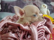 chihuahua maschio pelo raso blu occhi chiari bellissimo e veramente piccolo chihuahuamaschiopelorasobluocchichiaribellissimoeveramentepiccolo1.jpg