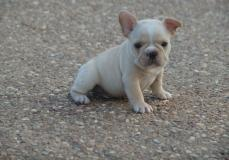 Eccellente bulldog francese