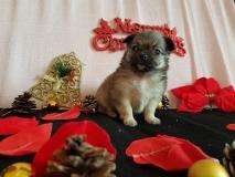 Chihuahua pelo lungo maschio fulvo...