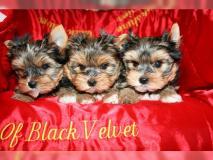 Yorkieshire Terrier Cuccioli disponibili