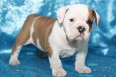 bellissimi cuccioli di bulldog inglese