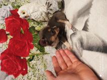 Chihuahua femmina blu focato occhi chiari