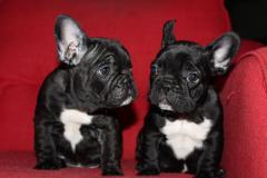 Cuccioli di bulldog Francese per l'adozione
