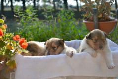 Cuccioli collies