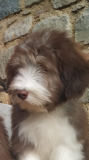 Bearded Collie cuccioli