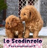 cuccioli di barboncino albicocca