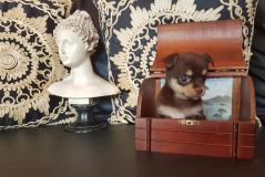 Chihuahua femmina toy