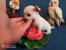Chihuahua maschio vero Toy bianco 70 giorni