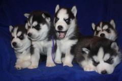Cucciolo di siberian husky pedigree