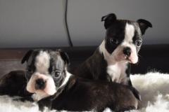 Boston terrier cuccioli di tre mesi...