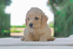 Cucciolo disponibile di Barboncino crema CucciolodisponibilediBarboncinocrema1.jpg