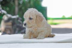 Cucciolo disponibile di Barboncino crema CucciolodisponibilediBarboncinocrema12.jpg
