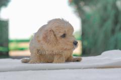 Cucciolo disponibile di Barboncino crema CucciolodisponibilediBarboncinocrema123.jpg