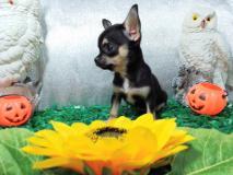 Chihuahua femmina nero focato micro ...