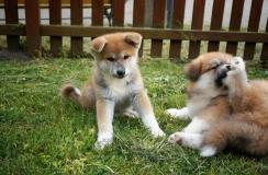 maschio e femmina akita inu cuccioli...