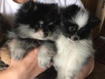 Pomeranian Zwergspitz mini bianco