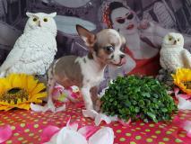 chihuahua maschio mini toy 4 mesi un occhio azzurro e uno scuro unico nel suo ge