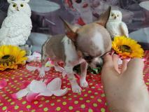 chihuahua maschio mini toy 4 mesi un...