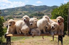 Cuccioli di Golden Retriever di alta...