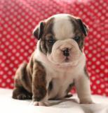Adorabile cucciolo bulldog inglese in vendita